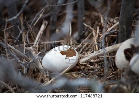Eggs of Frigate Bird, Galapagos Islands - stock photo
