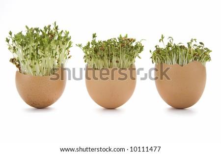 Eggshells and growing Garden cress (Lepidium sativum) on white background - stock photo