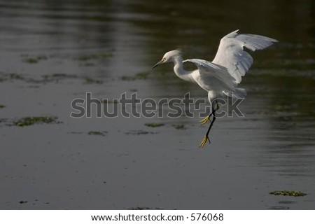 Egret about to touch down in the water of the Upper Newport Bay, Newport Beach, CA.
