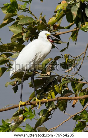 Egret bird in clearing its throat - stock photo