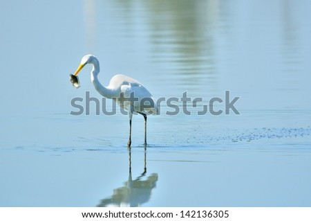 Egret eating fish A great white egret (Ardea alba) eating a fish - stock photo