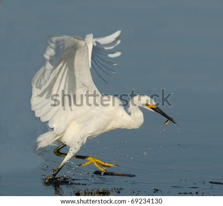Egret fishing - stock photo