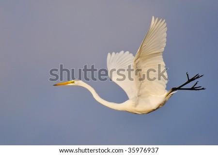 egret flying in the morning - stock photo