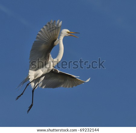 Egret in Flight - stock photo