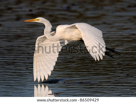 Egret in flight over water - stock photo