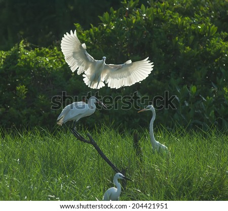 egret play in nature - stock photo
