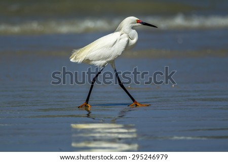 Egret walking in shallow water in Central Florida. - stock photo