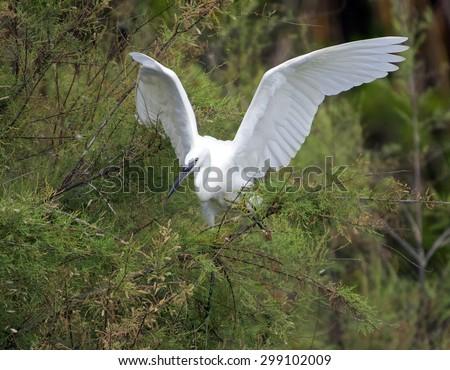 Egretta garzetta - stock photo