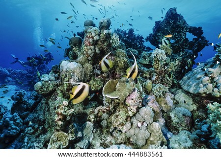 Egypt, Red Sea, Hurghada, U.W. photo, Masked Butterflyfish (Chaetodon semilarvatus) and divers - FILM SCAN - stock photo
