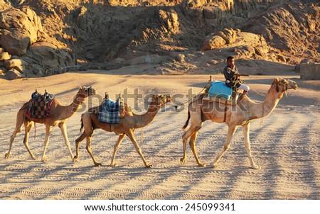 EGYPT, SHARM-EL-SHEIKH, JANUARY 12, 2015: Egyptian boy leads the caravan of camels through the desert, January 12, 2015. - stock photo