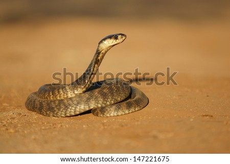 Egyptian Cobra - stock photo