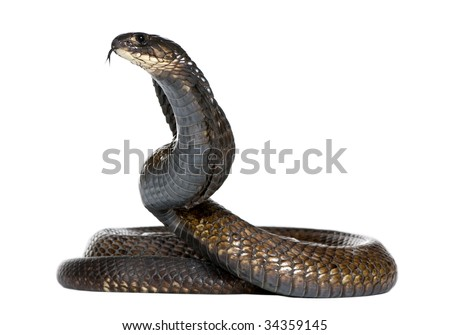 Egyptian cobra - Naja haje in front of a white background - stock photo