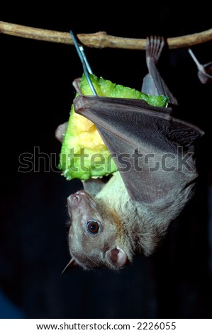 Egyptian fruit bat - stock photo