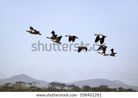 Egyptian Geese fly above Lake Naivasha, Great Rift Valley, Kenya, Africa - stock photo