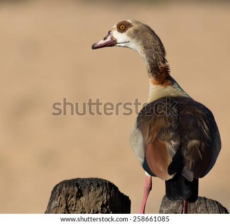 Egyptian Goose - stock photo