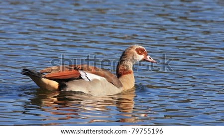 Egyptian Goose swimming in water