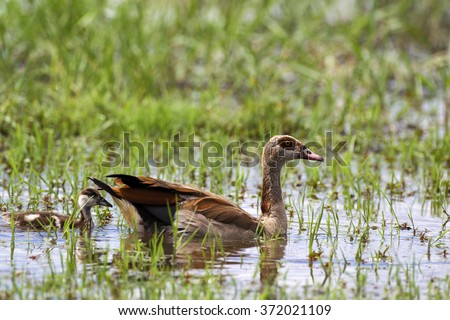 Egyptian goose with goslings - stock photo