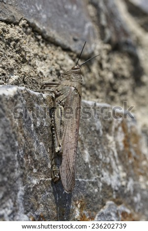 Egyptian Locust, Egyptian Grasshopper (Anacridium aegypticum) on a wall in Corsica, France, Europe - stock photo