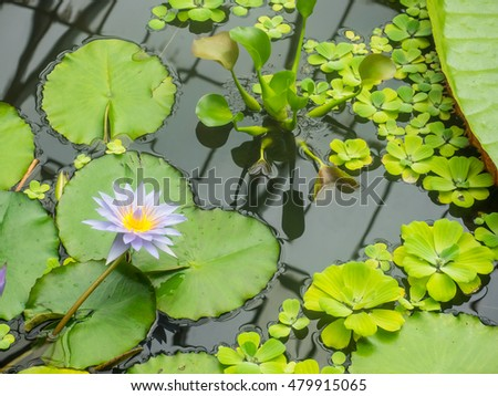 Egyptian lotus (Nymphaea lotus) is a flowering plant of the family Nymphaeaceae.