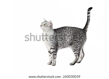 Egyptian male cat