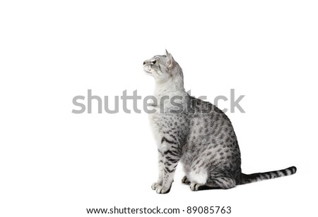 Egyptian male cat (6 years old) in studio on a white background - stock photo