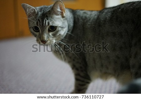 https://thumb7.shutterstock.com/display_pic_with_logo/167494286/736110727/stock-photo-egyptian-mau-736110727.jpg