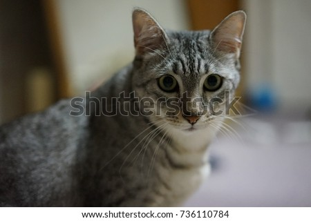 https://thumb7.shutterstock.com/display_pic_with_logo/167494286/736110784/stock-photo-egyptian-mau-736110784.jpg