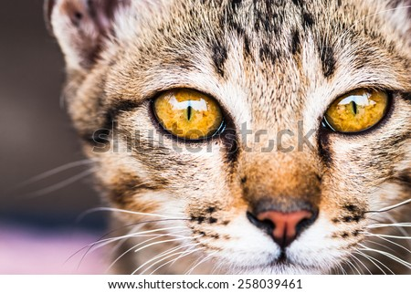 Egyptian Mau cat - stock photo