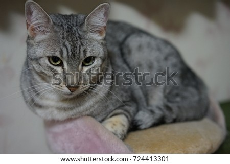 https://thumb7.shutterstock.com/display_pic_with_logo/167494286/724413301/stock-photo-egyptian-mau-cat-724413301.jpg