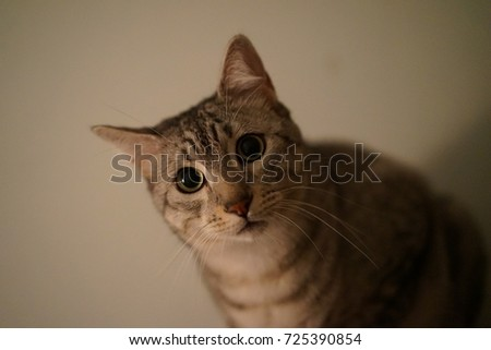 https://thumb7.shutterstock.com/display_pic_with_logo/167494286/725390854/stock-photo-egyptian-mau-cat-in-a-room-725390854.jpg