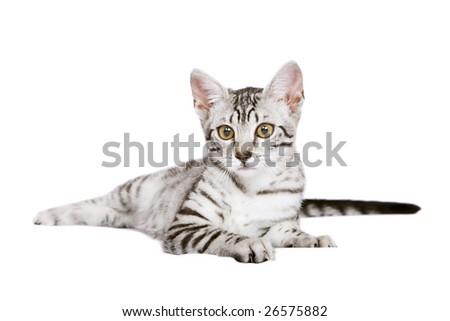 Egyptian Mau cat on white background - stock photo