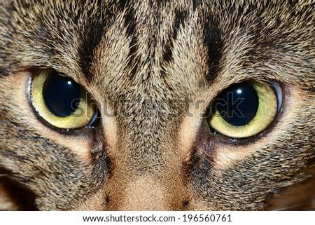 Egyptian Mau - evil eyes - stock photo