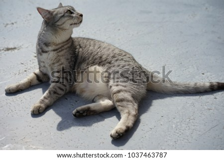 https://thumb7.shutterstock.com/display_pic_with_logo/167494286/1037463787/stock-photo-egyptian-mau-in-a-rooftop-1037463787.jpg
