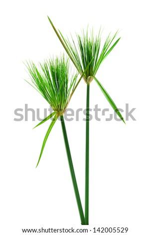 Egyptian papyrus. (Cyperus papyrus L.) - stock photo