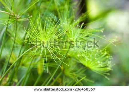 Egyptian papyrus sedge plant. - stock photo