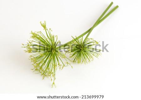 Egyptian papyrus sedge plant on a white background. - stock photo