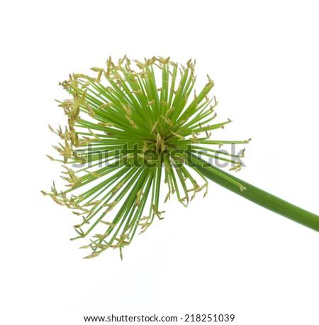 Egyptian papyrus sedge plant on a white background - stock photo