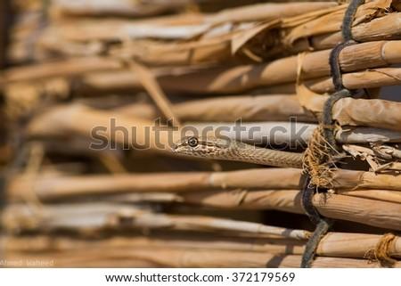 Egyptian Sand Snake - stock photo