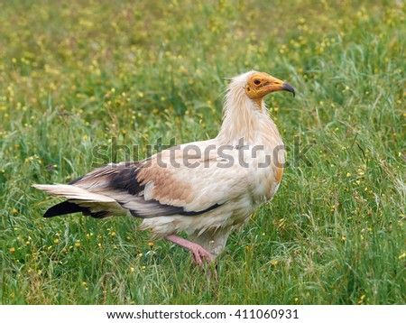 Egyptian vulture (Neophron percnopterus) walking in grass in its habitat
