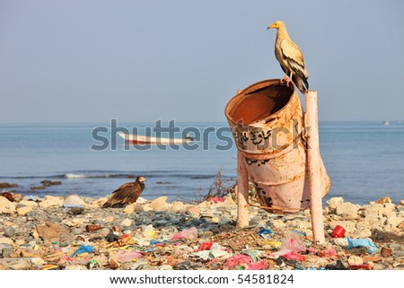 Egyptian vulture on rubbish-bin (beach of Soctra Island in Hadibo town) - stock photo