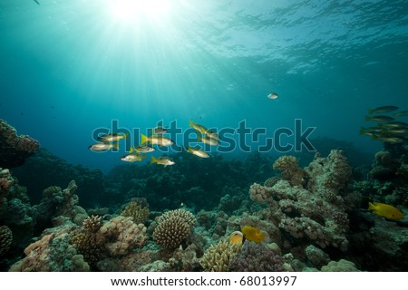Ehrenberg's snappers and tropical reef in the Red Sea. - stock photo