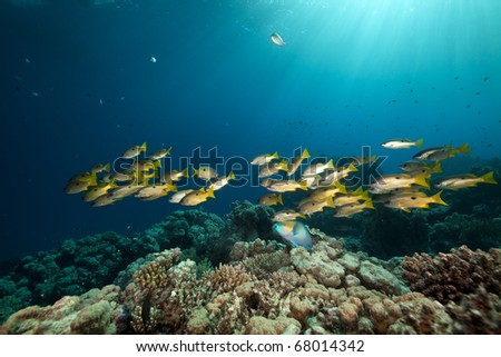 Ehrenberg's snappers and tropical reef in the Red Sea.