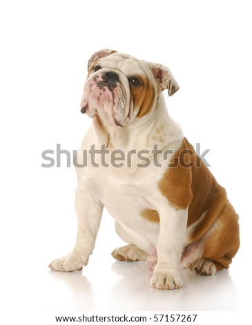 eight month old english bulldog puppy sitting with reflection on white background - stock photo