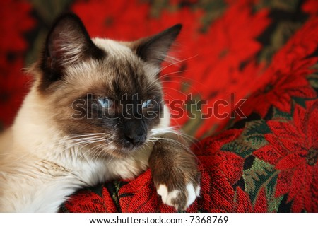 Eight month-old, male, Snowshoe Lynx Point Ragdoll Siamese on red poinsettia tapestry chair. - stock photo