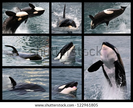 Eight photos mosaic of killer whales (Orcinus orca) - stock photo