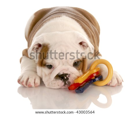 eight week old english bulldog puppy playing with colorful dog toy - stock photo