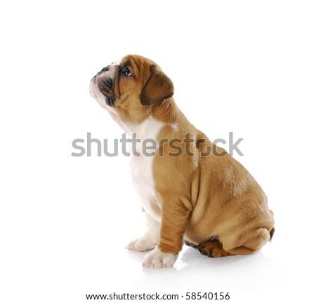 eight week old english bulldog puppy sitting with reflection on white background - stock photo