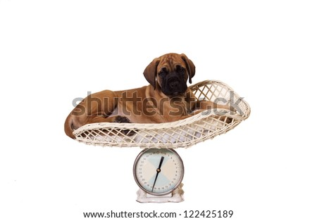 Eight week old English Mastiff puppy lying on a weight scale. Isolated white background with copy space. - stock photo