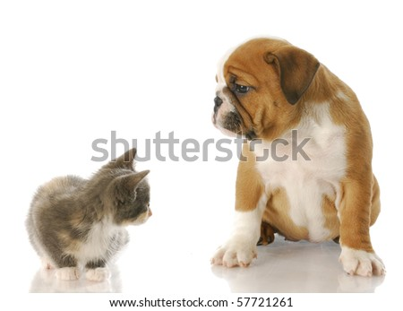 eight week old kitten and english bulldog puppy looking at each other with reflection on white background - stock photo