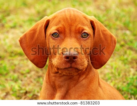Eight weeks old puppy Hungarian vizsla portrait - stock photo